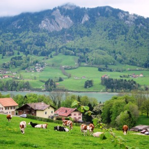 Cows, green fields, river, mountains... it's Switzerland indeed